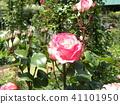 粉紅色的玫瑰花 41101950