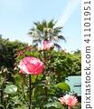 桃紅色玫瑰花和花和棕櫚樹 41101951