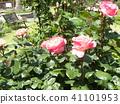 粉紅色的玫瑰花 41101953