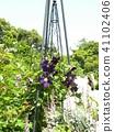 덩굴 성 식물 클레 마티스 보라색의 꽃 41102406