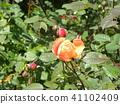 กุหลาบ,ดอกไม้,แปลงดอกไม้ 41102409