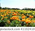 ดอกไม้,แปลงดอกไม้,ท้องฟ้าเป็นสีฟ้า 41102410