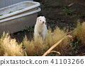 Ferret มหาสมุทร 41103266