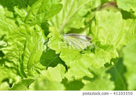 葉菜虫害蟲 41103350