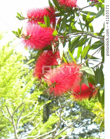 红千层 花朵 花卉 41103571