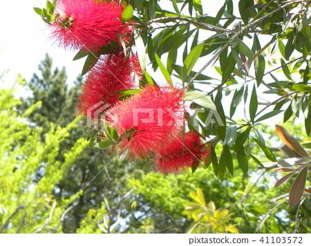 来自澳大利亚的红色花朵之类的花是一种草丛花 41103572