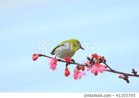 櫻花,花鳥圖,花朵 41103705