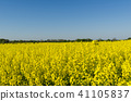 Blossom rapeseed field 41105837