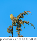 Singing Yellowhammer on a twig 41105838
