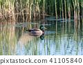 Male Mallard Duck in a pond 41105840