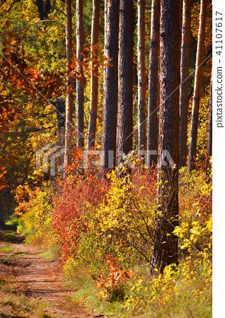 symmetrical tree trunks with colorful autumn bushes 41107617