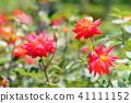 꽃, 플라워, 장미 41111152
