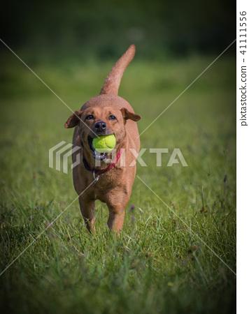 開心玩球的狗狗 41111556