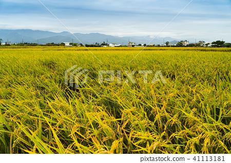 花東縱谷最美麗景致金黃色稻浪 41113181
