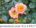 초여름의 장미 마인 뮌헨의 꽃 41114917