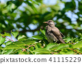 gray, starling, bird 41115229