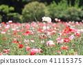 샤 레이 양귀비 꽃 41115375