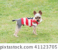 Yorkshire Terrier สวมเสื้อเชิ๊ต 41123705