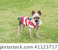 Yorkshire Terrier สวมเสื้อเชิ๊ต 41123717