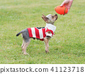 Yorkshire Terrier สวมเสื้อเชิ๊ต 41123718
