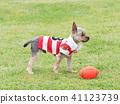 Yorkshire Terrier สวมเสื้อเชิ๊ต 41123739