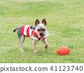 Yorkshire Terrier สวมเสื้อเชิ๊ต 41123740
