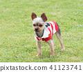 Yorkshire Terrier สวมเสื้อเชิ๊ต 41123741