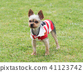 Yorkshire Terrier สวมเสื้อเชิ๊ต 41123742