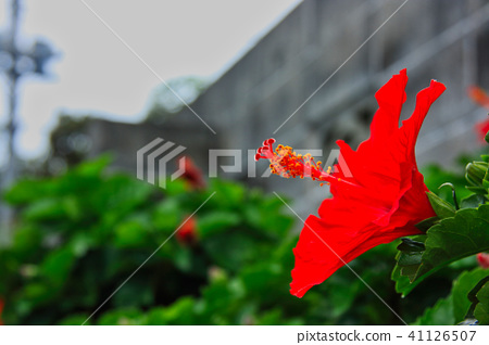 Bright Red Hibiscus In Full Bloom Of Hachijo Island Stock Photo