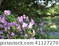 Azaleas in the park 41127270