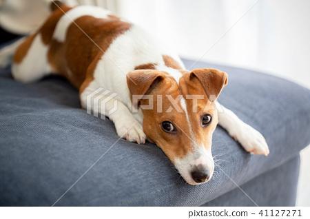基於沙發的狗 41127271