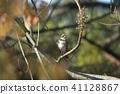 熟悉的野鸟画眉 41128867