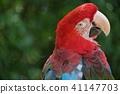 金剛鸚鵡 41147703