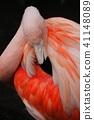 火烈鳥 41148089
