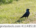 Watchful jackdaw bird 41148518