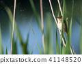 Hidden Reed Warbler 41148520