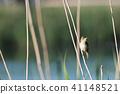 Reed Warbler in its natural habitat 41148521