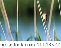 Singing Reed Warbler in natural habitat 41148522