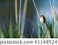 Cute songbird, Reed Warbler, sitting in the reeds 41148524