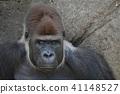 大猩猩 猴子 猴 41148527