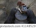 大猩猩 猴子 猴 41148529