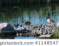 Mallard family, female, male and ducklings 41148547