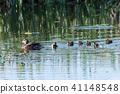 Female Mallard with chicks 41148548