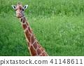 기린, 얼굴, 초식 동물 41148611