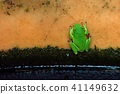 莫氏樹蛙(Rhacophorus moltrechti) Nantou tree frog 41149632