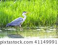 grey heron, gray heron, heron 41149991