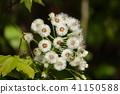 giant butterbur, butterbur, fuki-no-tou 41150588