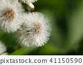 giant butterbur, species, blowball 41150590