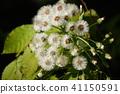 giant butterbur, butterbur, fuki-no-tou 41150591