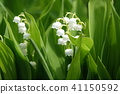 lily of the valley, valley star lily, bloom 41150592